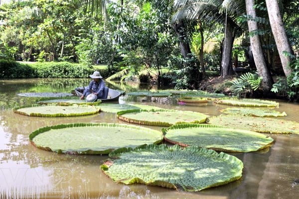 Lily pads at Binh Quoi Village