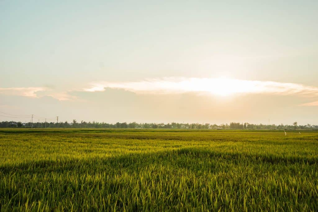 Green Rice Field with Sunset in Hoi An