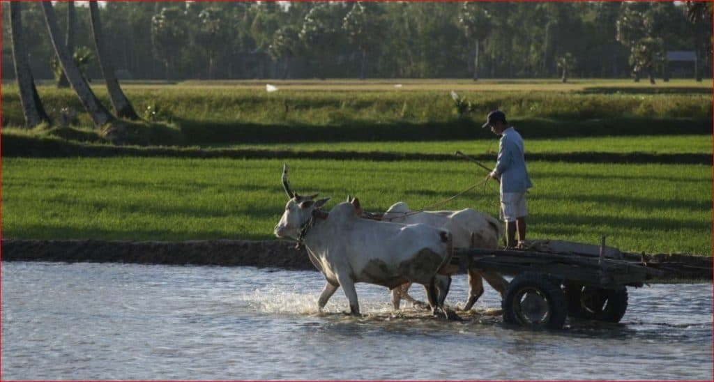Bulls pulling farmer in the Mekong Delta